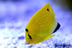 angel de tres puntos 5 juvenil Apolemichthys trimaculatus