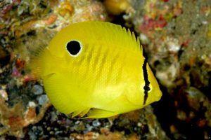 angel de tres puntos 6 juvenil Apolemichthys trimaculatus