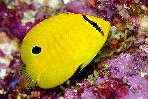 angel de tres puntos 7 juvenil Apolemichthys trimaculatus