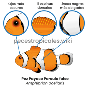 Diferencias percula vs ocellaris