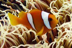 Pez Payaso de Chagos Amphiprion chagosensis