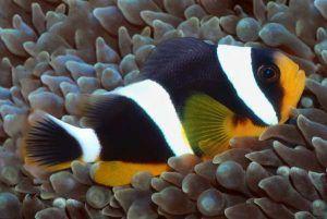 Pez Payaso de las Seychelles Amphiprion fuscocaudatus