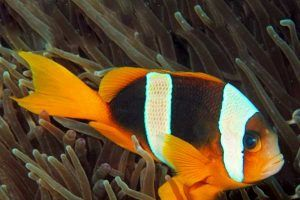 Pez Payaso de Madagascar Amphiprion latifasciatus