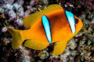 Pez Payaso del Mar Rojo Amphiprion bicinctus