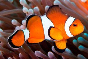 Pez Payaso Percula Amphiprion ocellaris
