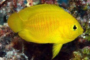 pez angel amarillo Centropyge heraldi