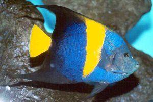 pez angel arabe Pomacanthus asfur