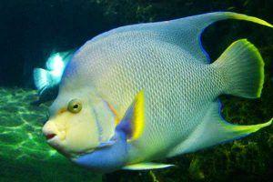 Pez Ángel azul adulto acuario