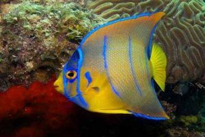 Pez Ángel azul juvenil amarillo