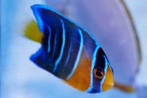 Pez Ángel azul juvenil oscuro