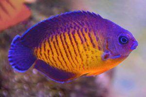pez angel belleza coralina Centropyge bispinosa