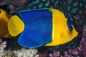pez angel bicolor Centropyge bicolor