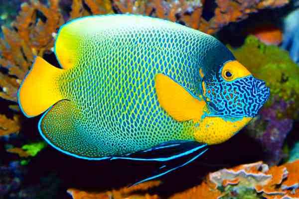 pez angel cara azul Pomacanthus xanthometopon