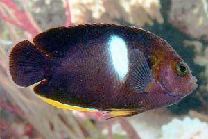 pez angel cerradura Centropyge tibicen