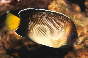 pez angel cola amarilla Apolemichthys xanthurus