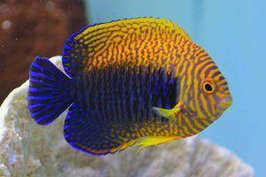pez angel de alfarero Centropyge potteri