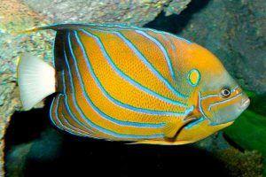 pez angel de anillo azul Pomacanthus annularis