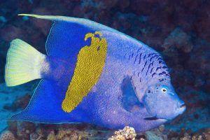 pez angel de barra amarilla Pomacanthus maculosus