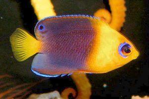 pez angel de cabeza amarilla Centropyge joculator