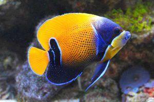 pez angel de faja azul Pomacanthus navarchus