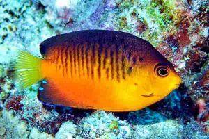 pez angel de mango Centropyge shepardi