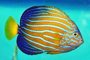 pez angel de rayas azules Chaetodontoplus septentrionalis