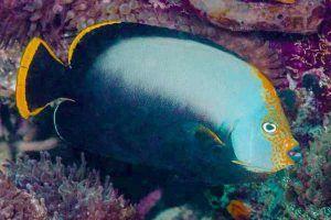 pez angel de terciopelo negro Chaetodontuplus melanosoma