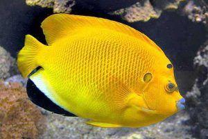 pez angel de tres puntos Apolemichthys trimaculatus