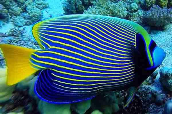 pez angel emperador Pomacanthus imperator