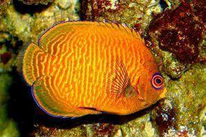 pez angel enano velvet Centropyge aurantia