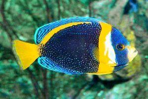 pez angel garabateado Chaetodontoplus duboulayi
