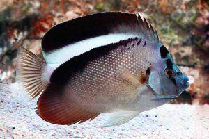 pez angel griffis Apolemichthys griffisi