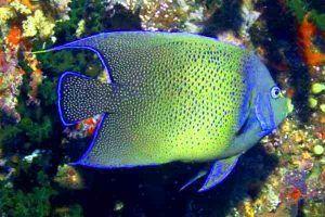 pez angel koran Pomacanthus semicirculatus