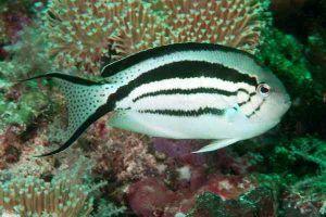 pez angel lamarck Genicanthus lamarck