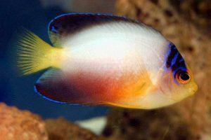 pez angel multicolor Centropyge multicolor