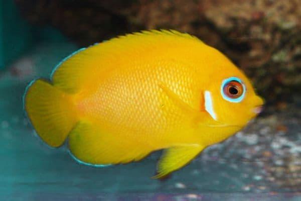 pez angel piel de limon Centropyge flavissima