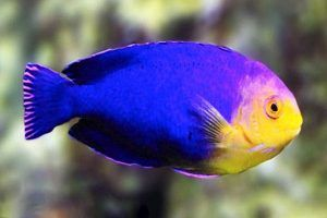 pez angel querubin Centropyge argi