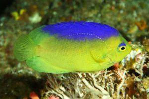 pez angel pigmeo de espalda azul Centropyge colini