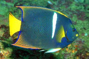 pez angel rey Holacanthus passer