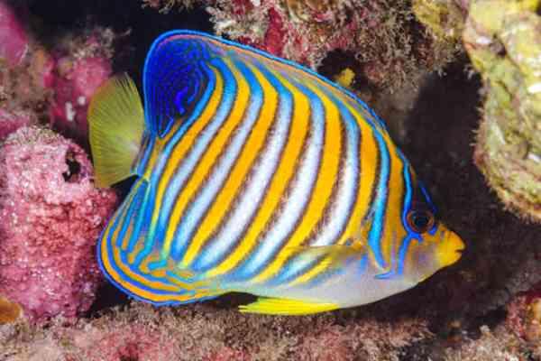 pez angel real Pygoplites diacanthus