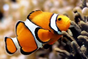 Pez Payaso Percula Amphiprion percula