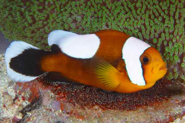 Pez Payaso Panda Amphiprion polymnus