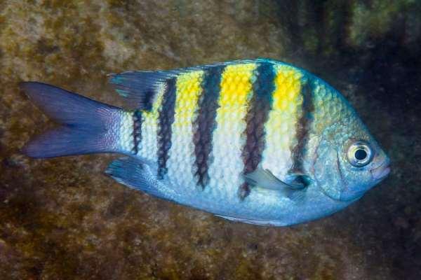 pez damisela Abudefduf saxatilis