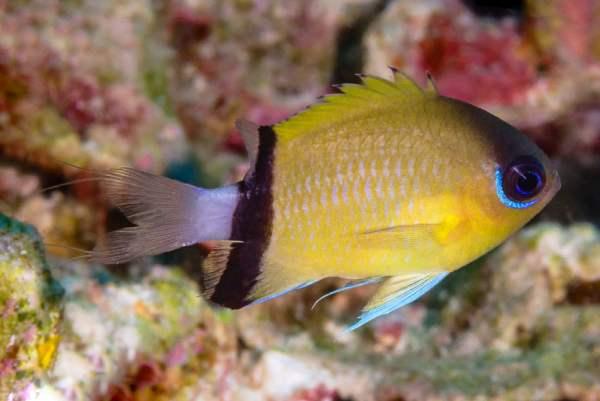 pez damisela Chromis retrofasciata