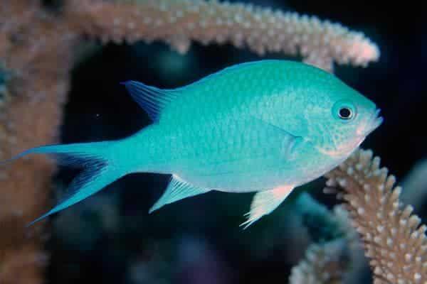 pez damisela Chromis viridis