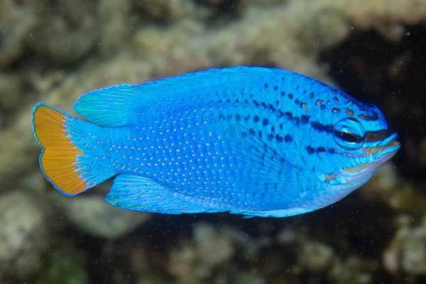 pez damisela Chrysiptera cyanea