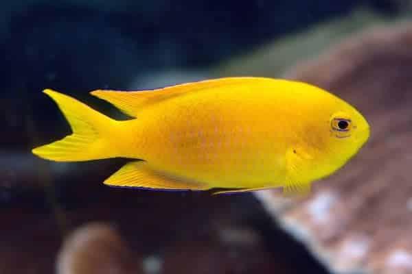 pez damisela Chrysiptera galba