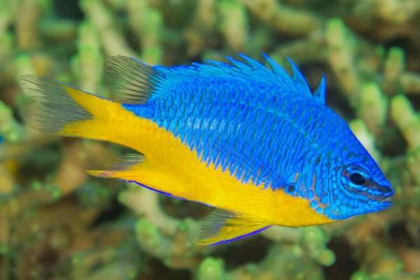 pez damisela Chrysiptera hemicyanea