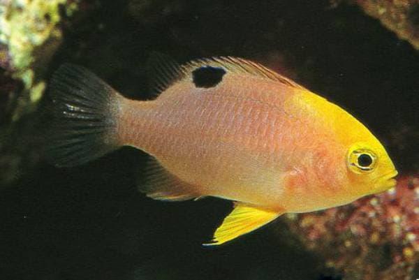 pez damisela Chrysiptera talboti