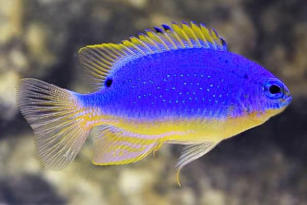 pez damisela Chrysiptera taupou